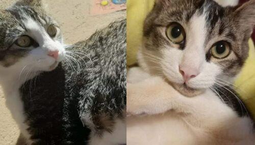 Procura-se gatinho Loki que desapareceu no Centro