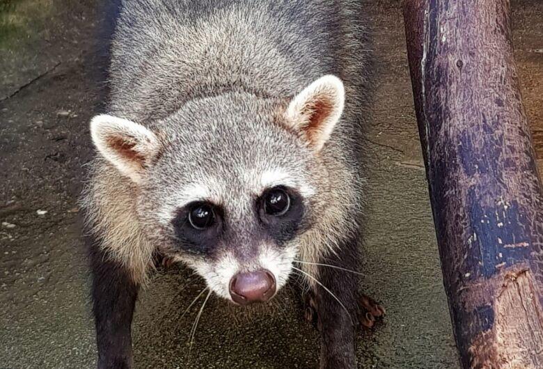 Parque Ecológico de São Carlos devolveu dois Guaxinins à natureza