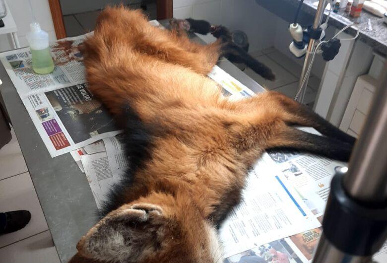 Parque Ecológico resgata fêmea de lobo-guará que não resiste aos ferimentos
