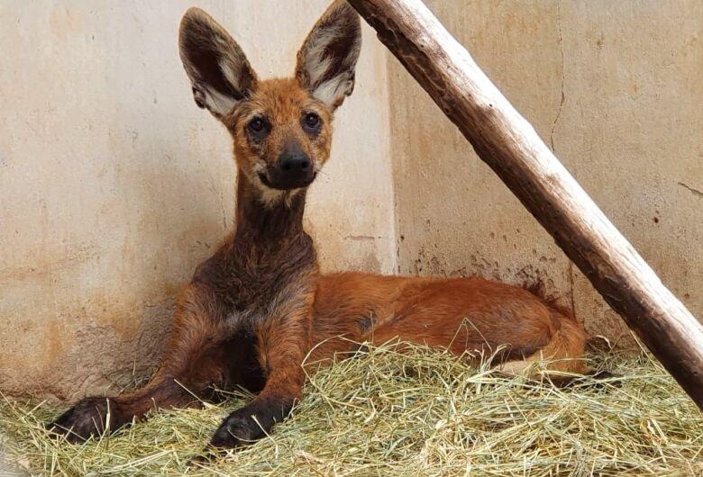 Lobo-guará resgatado se recupera de machucados e lesões de pele