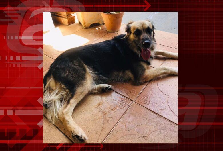 Cachorra Naomi desapareceu na Vila Brasília; ajude a encontrá-la