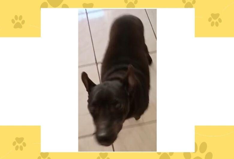 Cachorrinho Toby desaparece em Ibaté. Ajude a encontrá-lo