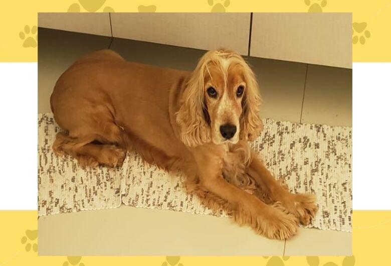 Cachorro Frederico desaparece no Jd Mariana em Ibaté. Ajude a encontrá-lo