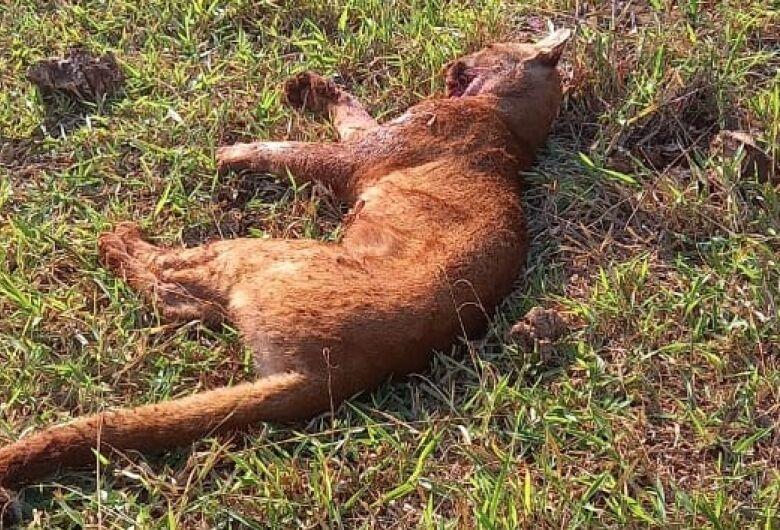 Animal ameaçado de extinção é abatido em assentamento