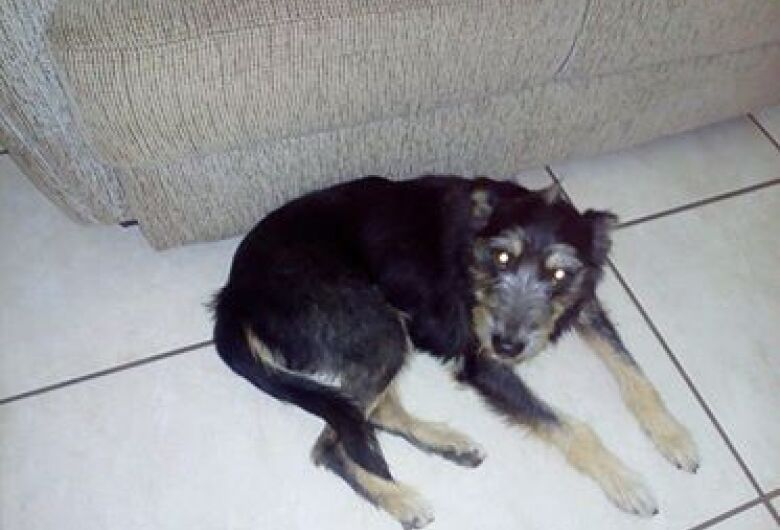Cachorra Leleca está desaparecida