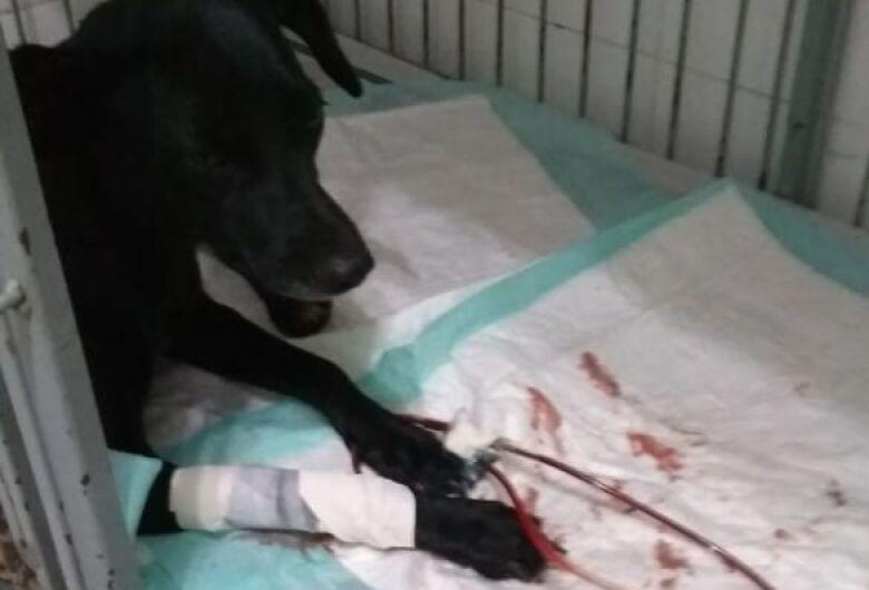 Após sofrer aborto, cachorrinha precisa de ajuda ao contrair doença do carrapato
