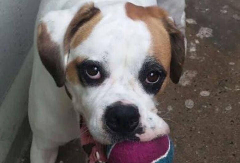 Cachorra Amora está desaparecida em Ibaté