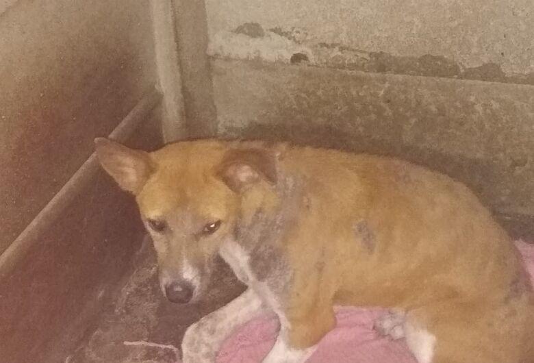Resgatada no Antenor Garcia, Pandora terá patinha amputada e precisa de ajuda