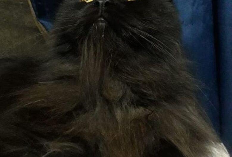 Gato está desaparecido no Novo Horizonte