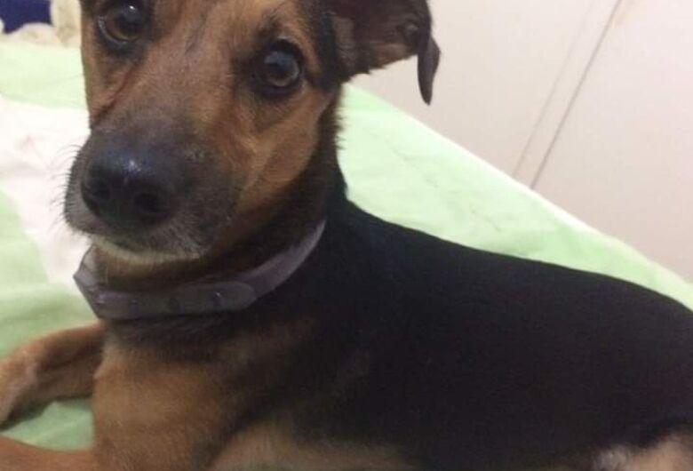 Cachorrinho que escapou em capotamento morre atropelado por ônibus