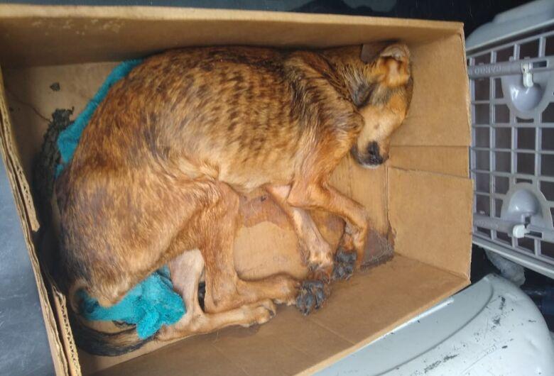 Morre cachorrinho que foi encontrado agonizando em caixa de papelão