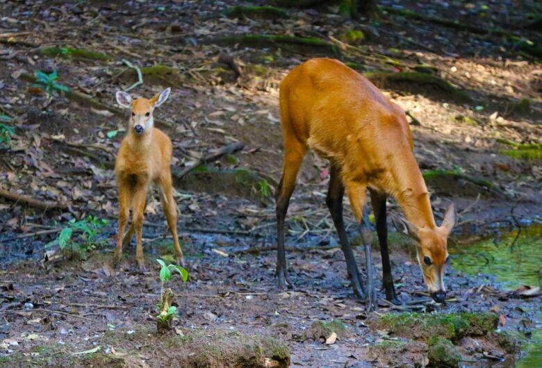 Nasce filhote de cervo-do-pantanal no Parque Ecológico de São Carlos