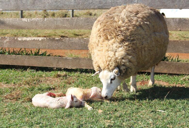Veterinário da Embrapa São Carlos diz que manejo adequado reduz perda de cordeiros em partos duplos