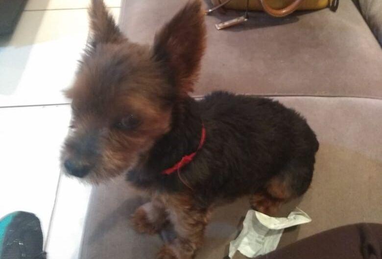 Cachorrinho Fred desaparece e proprietários buscam informações para localizá-lo