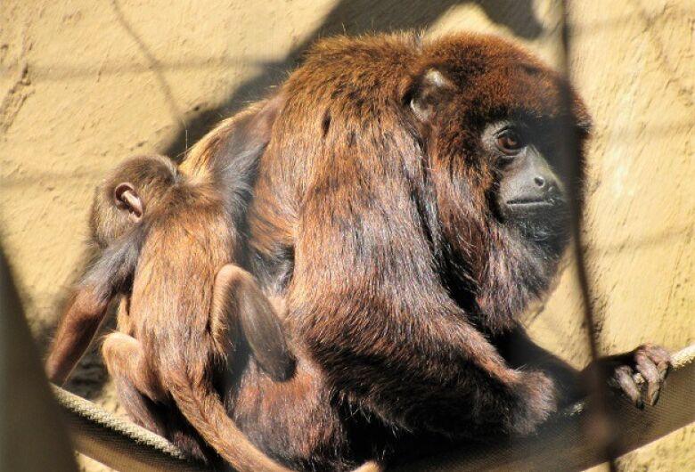Filhote de bugio vermelho nasce no Parque Ecológico