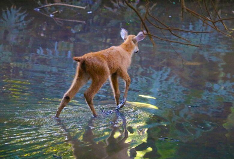 AZAB confere ao Parque Ecológico de São Carlos o título de padrinho do cervo do pantanal
