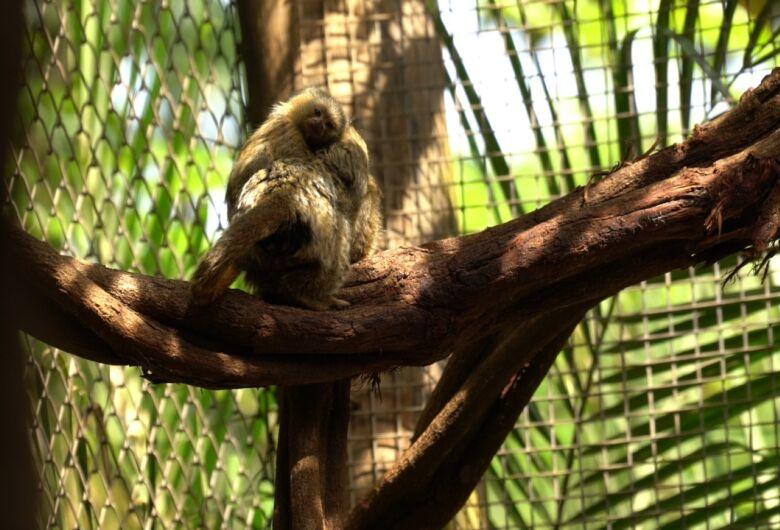 Trabalho do Parque Ecológico contribui para a preservação do Sagui-Pigmeu