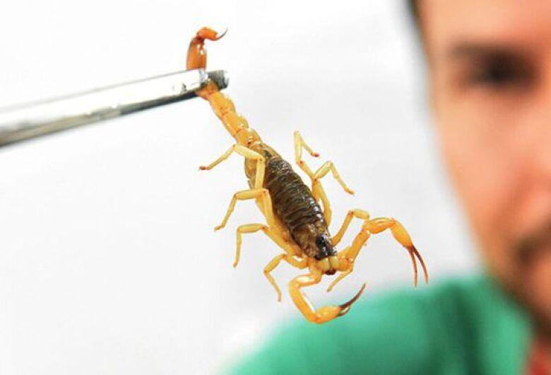 Calor e chuva: população deve ter cuidado com a época dos escorpiões