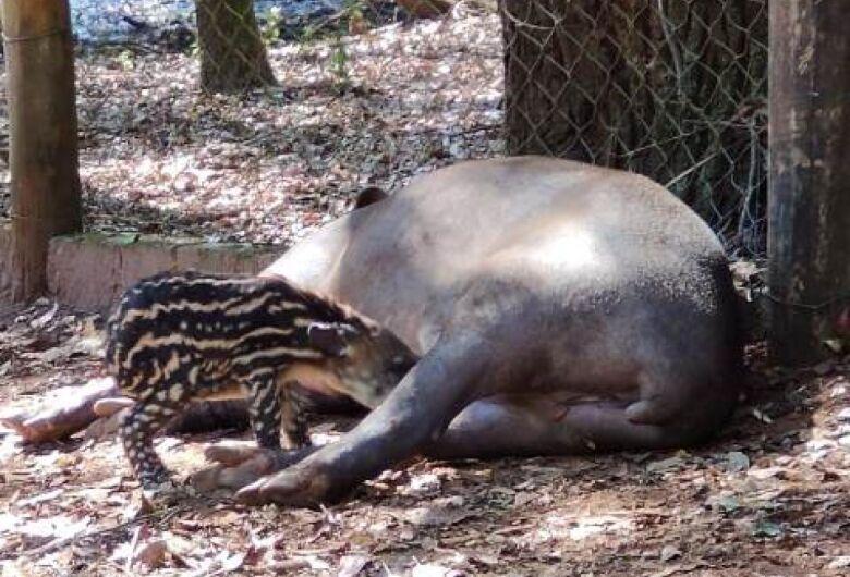 Parque Ecológico realiza concurso para escolher o nome do filhote de anta brasileira