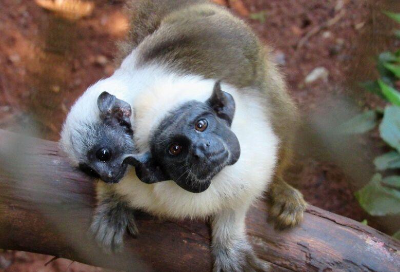 Nasce no Parque Ecológico uma das espécies mais ameaçadas de macacos: Sauim-de-coleira