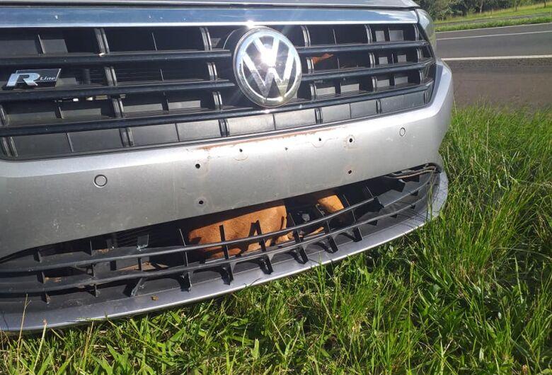 Cachorro é atropelado, fica preso no para-choque do veículo, percorre 2 km e sai ileso de acidente