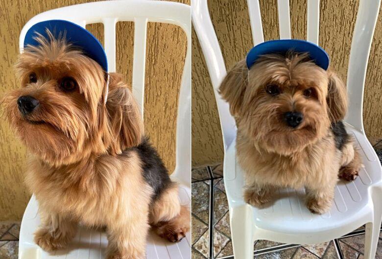 Procura-se cachorro Teddy, desaparecido no Jardim Munique