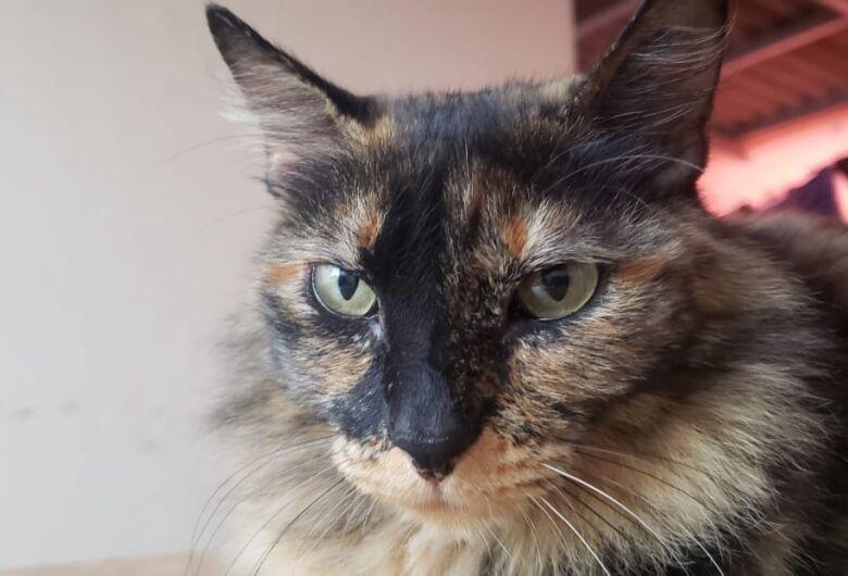 Procura-se gatinha Panpan que desapareceu na região do Planalto Paraíso