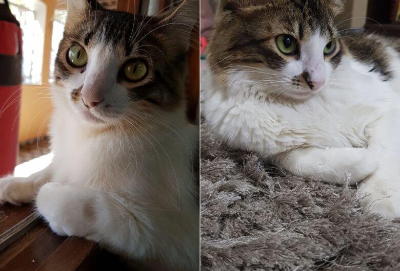 Procura-se gatinha Flor que desapareceu na região do Santa Felícia