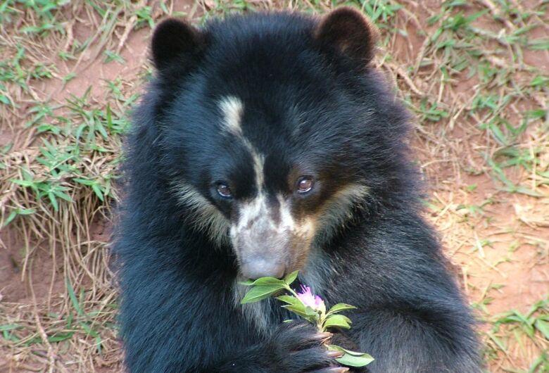 Parque Ecológico: Ursa de Óculos completa 27 anos e luta contra um câncer
