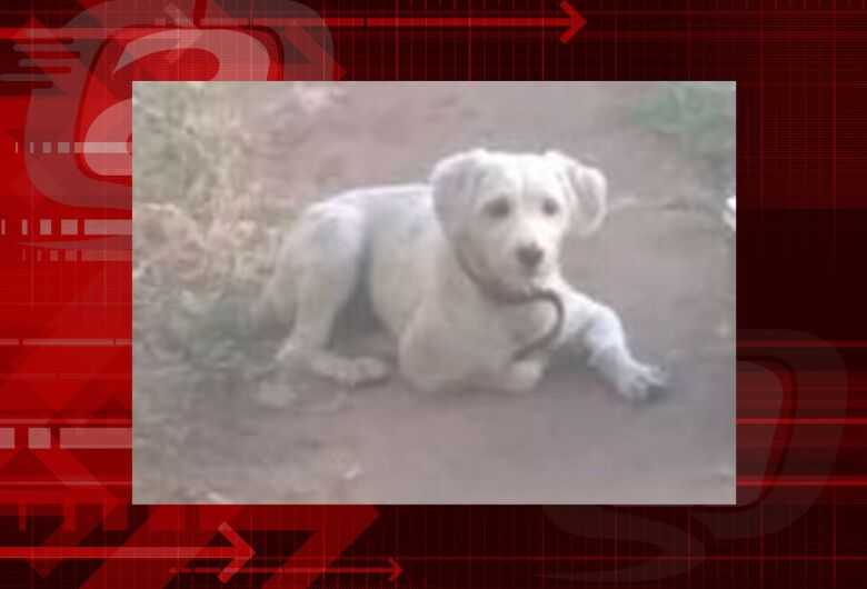 Cachorro Thor desapareceu na região do Bicão. Ajude a encontrá-lo