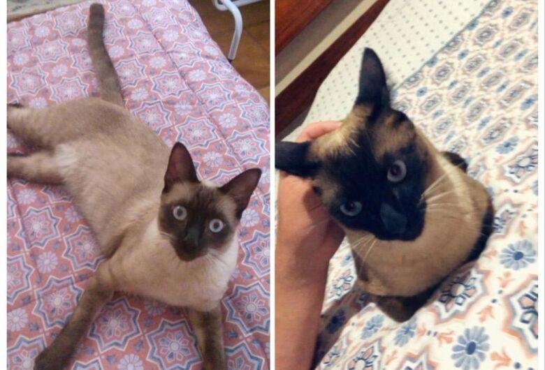 Procura-se gatinho Fred que desapareceu na região do Boa Vista