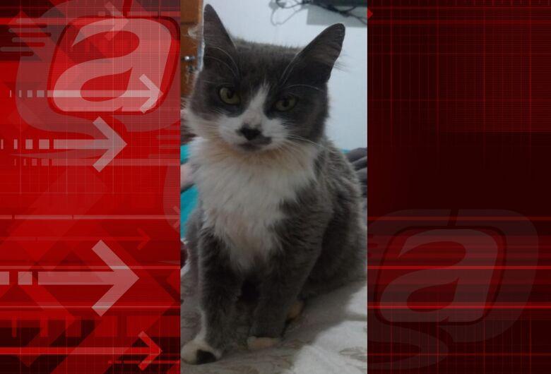 Procura-se gatinha Berenice que desapareceu na região do Jardim Munique.