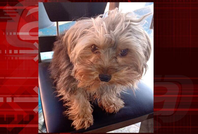 Cachorrinho Bob desapareceu na região do Pacaembú. Ajude a encontrá-lo
