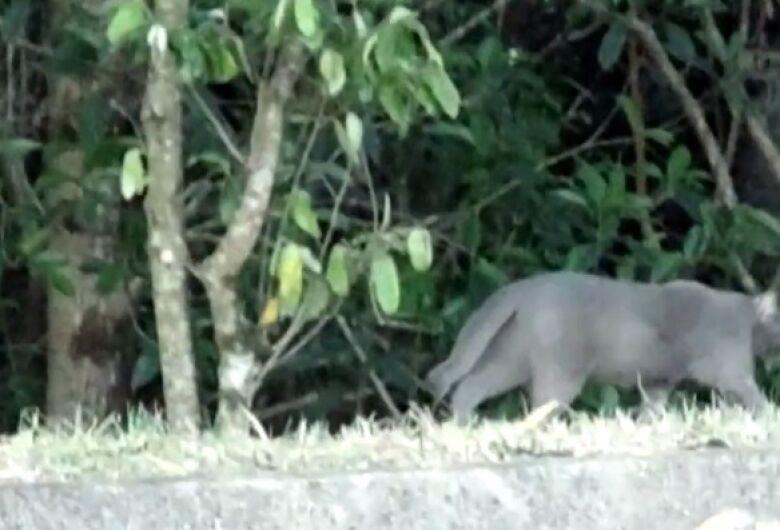 Felino flagrado no Santa Angelina é um gato feral, diz biólogo