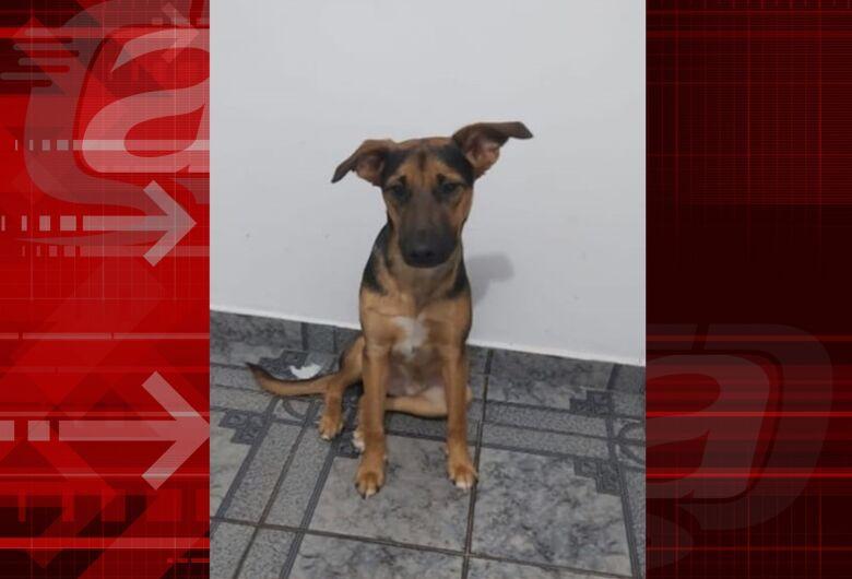 Cachorro Tobby desaparece na região do Jardim Medeiros