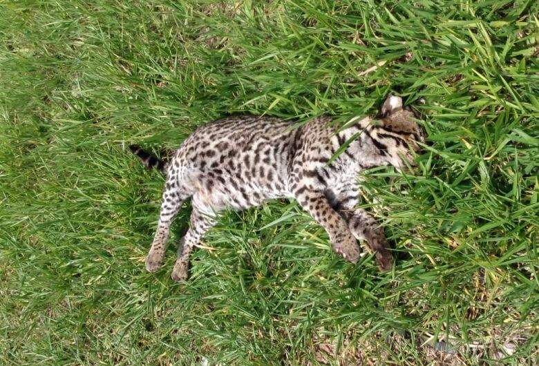 Jaguatirica é encontrada morta na estrada do Broa