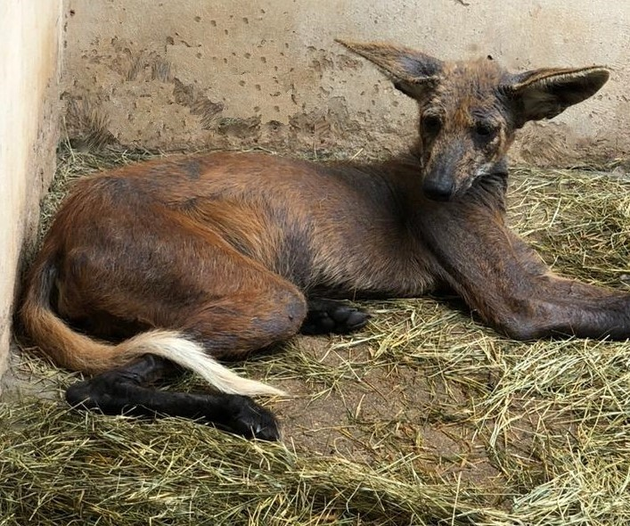 O animal passa por tratamento no parque Ecológico de São Carlos - Crédito: divulgação