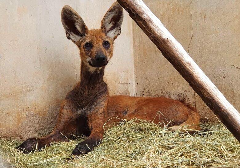 Lobo-guará é resgatado e recebe cuidados visando recuperação - Crédito: Parque Ecológico de São Carlos