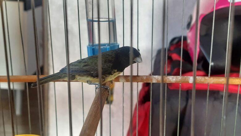 Aves silvestres em cativeiro irregular são apreendidas em dois bairros -