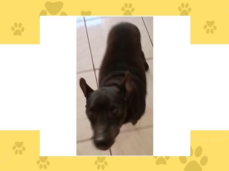 Cachorrinho Toby desaparece em Ibaté. Ajude a encontrá-lo -