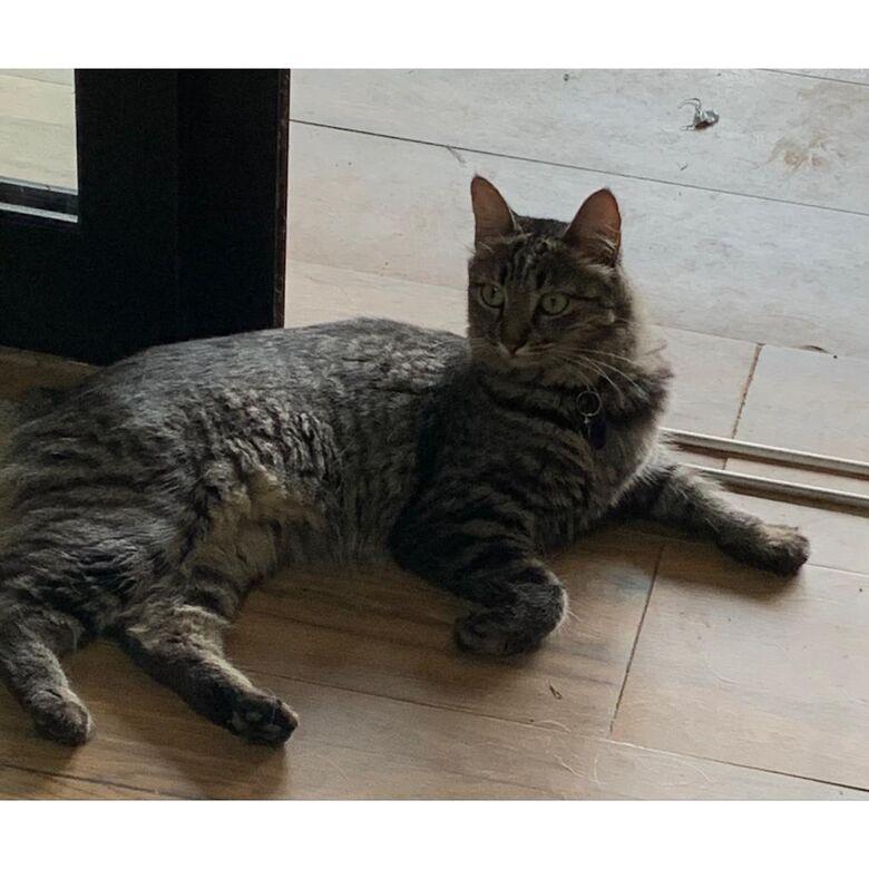 Gatinha desaparece na região do Parque Fehr - Crédito: arquivo pessoal