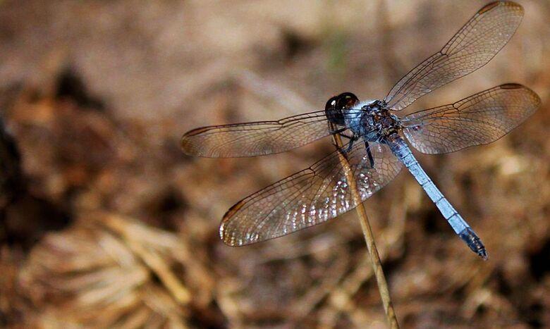 Nova espécie de libélula é descoberta em São Carlos - Crédito: © Rhainer Guillermo Nascimento Ferreira/Ufscar/Direitos reservados