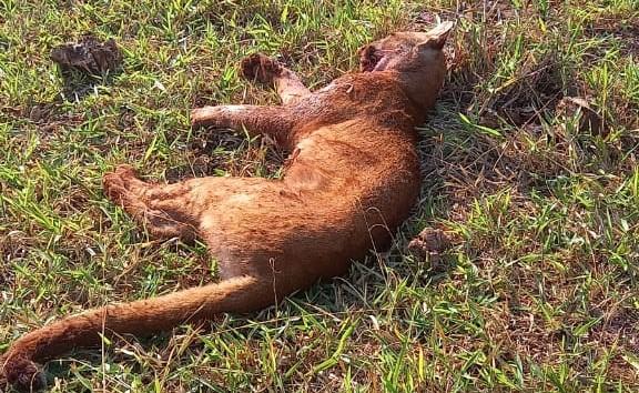 Onça parda, ameaçada de extinção, foi morta com um tiro de espingarda - Crédito: Divulgação