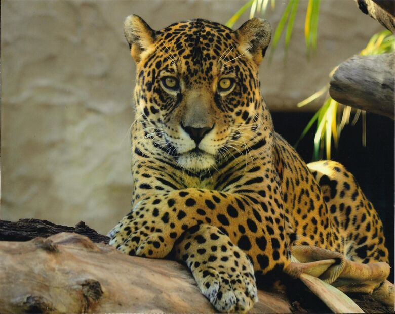 Programação ocorre até o dia 1º de agosto, exclusivamente online e focada nas espécies ameaçadas de extinção - Crédito: Divulgação