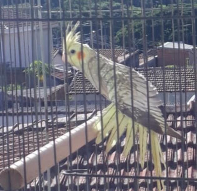 Calopsita Kito desaparece na região do Jardim Bandeirantes -