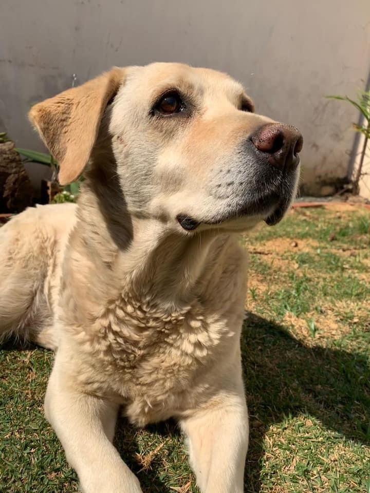 Cachorra Laisa está desaparecida. Ajude a encontrá-la -