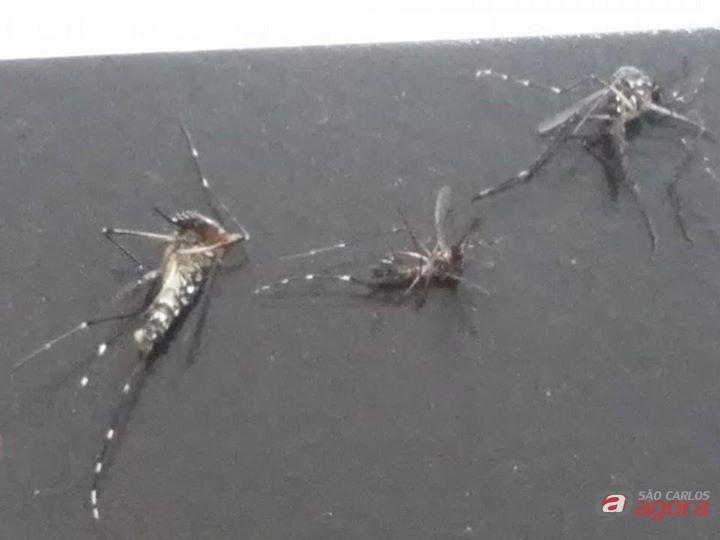 Fotos dos mosquistos da dengue mortos pela leitora. (foto Divulgação). -