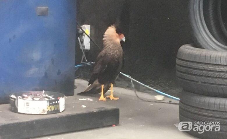 O gavião ferido: resgatado, foi levado ao Parque Ecológico - Crédito: Divulgação