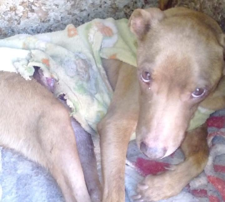 Campanha busca ajudar cachorrinho Kaká resgatado com tumor - Crédito: Divulgação