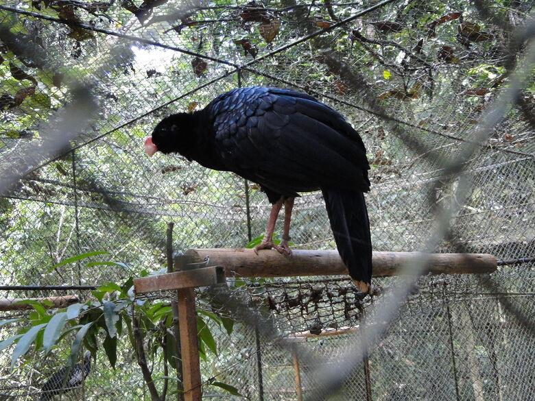 Mutum-de-Alagoas é uma das duas espécies de pássaros extintas na natureza no Brasil - Crédito: Mercival Francisco - UFSCar/DCA-So